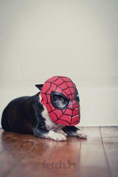 Maddie, Boston Terrier, studiofetch, via Flickr