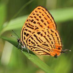 ウラナミアカシジミ Japonica saepestriata  先週の写真。 先週がピークで、今日、雑木林でウラナミアカシジミの死骸を確認しました。  ゼフィルスの命は儚い… 一週間で個体数が激減する事を改めて知らされました。 by masaforester http://ift.tt/1MYruNK