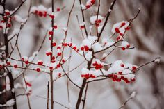 red berries branches -  red berries branches free stock photo Dimensions:5760 x 3840 Size:5.55 MB  - https://www.welovesolo.com/red-berries-branches-2/