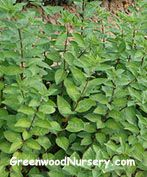 Gaultheria shallon tall and wide Privet Hedge, Fast Growing Shrubs, Shrubs For Sale, Small White Flowers, Evergreen Shrubs, Hedges, Green Leaves, Backdrops, Bloom