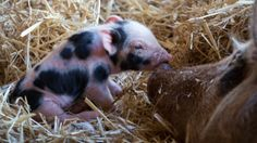 Piglets ‹ A Collection of Kindness
