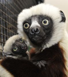 Two female Sifaka lemurs, Gertrude and Eleanor, were born on January 5 at the Duke Lemur Center.   Gertrude is the daughter of mom Pia and dad Jovian – Jovian being the famous lemur that played Zoboomafoo in the popular kids show.  Learn more: http://www.zooborns.com/zooborns/2014/02/sifaka-duke.html