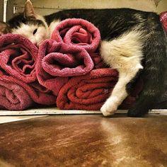 #cat #cats #TagsForLikes #catsagram #catstagram #instagood #kitten #kitty #kittens #pet #pets #animal #animals #petstagram #petsagram #photooftheday #catsofinstagram #ilovemycat #instagramcats #nature #catoftheday #lovecats #furry #sleeping #lovekittens #adorable #catlover #instacat