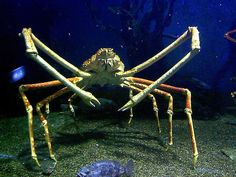 Giant spider crab | 12 Creatures That Prove The Deep Sea Is The Scariest Place On Earth The largest crab on earth lives up to 1,000ft below sea level, and can measure up to 12ft from claw tip to claw tip. Why they are terrifying: Have you ever been nipped by a normal-sized crab? It hurts. A giant crab would probably nip your toe off.