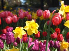 Daffodils & Tulips at Point Defiance Park, Tacoma