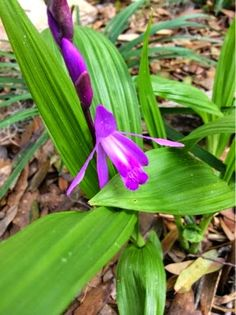 Chinese Ground Orchid (from Central Florida Gardener blog)