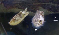 Cuttlefish send mixed messages, when they can get away with it..