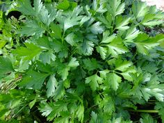 Parsley is used in many dishes around the world, from decorating and flavouring a lamb shoulder to being sprinkled on a tasty Italian…