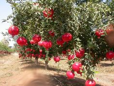 "How to Grow Pomegranate     ""grained apple,""  << http://auntiedogmasgardenspot.wordpress.com/2014/06/11/how-to-grow-pomegranate/"
