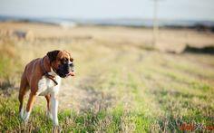 Fotos von einem reinrassigen Hund, der den Spitznamen boxer