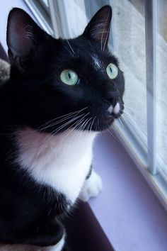 #tuxedo #cat