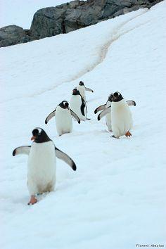 . ペンギン (jp) Pinguin (de) penguin (en) 펭귄 새 (kr) manchot (fr) pinguino (it) pingvin (se) pinguim (pt)葡 pingüino (es)西 pinguïn (nl)荷