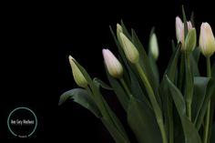 Nombre científico: Tulipa spp. Nombre común: Tulipán. Altura: De 25 hasta los 60 cm. Características: existe una clasificación de los tulipanes según su floración. De acuerdo a esto se encuentran los que son precoces y florecen en febrero y marzo, los semitardíos que florecen en abril, y los tardíos que van de finales de abril al mes de mayo.