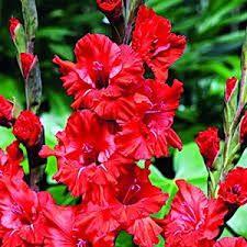 Imagini pentru gladiole flori poze