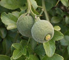 Trifoliate Orange (Poncirus trifoliata)