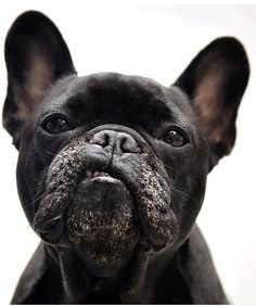 This Frenchie has the Elvis lip curl