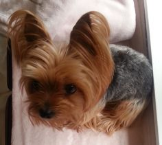 Yorkie Annie just back from the groomer, sweet overhead pose #yorkshireterrier