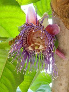 An exotic flower in the coffee farm: granadilla flower.
