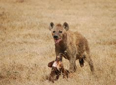 At the mere mention of a hyena, what most people visualize is a dog like animal, distributed in parts of Africa and Asia.