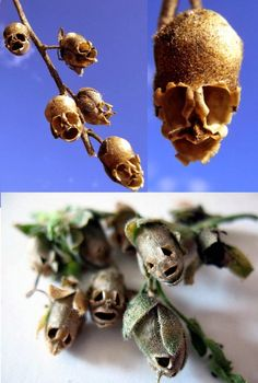 The skull-shaped Snapdragon Flower Dragon(Antirrhinum majus) seed pod. The Antirrhinum, commonly known as the snapdragon has been a popular garden plant for many years.  Also known as the dragon flower, its common name derives from the resemblance of the flower to a dragon's head.Yet once the flower has died, leaving behind the seed pod, something a little more macabre appears.  The dragon – just a visual metaphor after all – appears to have a skull.