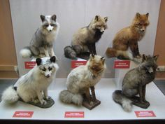 These are the color mutations that occur in foxes