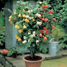 Abutilon - evergreen perennial plant