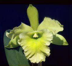 Inter-generic Orchid-hybrid Blc: BrassoLaelioCattleya Ports-of-Paradise 'Emerald Isle' - Flickr - Photo Sharing!
