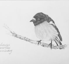 Pencil drawing scarlet robin