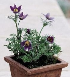 Pase Seeds - Pulsatilla Anemone Vulgaris Purple Perennial Seeds, $3.29 (http://www.paseseeds.com/pulsatilla-anemone-vulgaris-purple-perennial-seeds/)