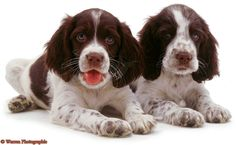 English Springer Spaniel pups-reminds me of my old dog Oreo
