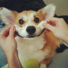 corgi dog - Google Search