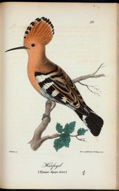 Härfogel. (Upupa epops linn.). 1832 - 1840. From New York Public Library Digital Collections.