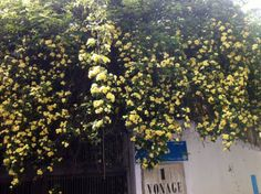 "Hanging flowers called 'abashar 'e tala"" meaning 'golden waterfall' bloomed all over the cities of Iran in spring 