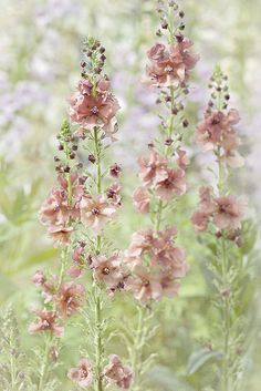 "Verbascum ""Pink Petticoats"" 