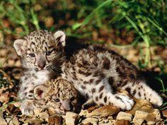 Snow Leopard Pictures: Snow Leopard Cubs
