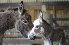 donkeys | Miniature Donkeys
