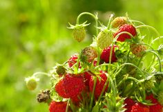 Wallpapers for Desktop: strawberry wallpaper - strawberry category
