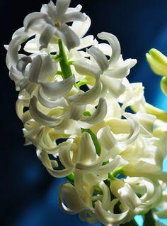 Creamy white hyacinths