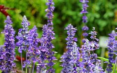 Herbal Medicine Welcome to My World - Essential Oils (Aromatherapy) for Beginners - Alexis Unlimited - Hello World! I've done a few posts previously Yucca Gloriosa, Salvia Officinalis, Yucca Plant, Annual Flowers, Aromatherapy Oils, Edible Flowers, Flora Flowers, Stress, Medicinal Plants