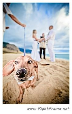 Adorable pup sporting a sandy nose & bow tie at this sunset wedding at Yokohama beach, Oahu | Photo by http://rightframe.net