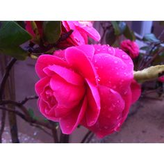 a camellia flower..photographed by iphone4