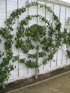 Espaliering Fruit Trees creates a beautiful garden screen to enclose an outdoor room or shield neighbors' prying eyes. - Gardening Go Fruit Garden, Edible Garden, Vegetable Garden, Garden Plants, Unique Garden, Garden Art, Espalier Fruit Trees, Garden Screening, Garden Types