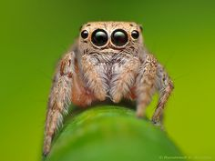 Jumper spider by Rundstedt B. Lucas The Spider, Spider Species, Funny Animals, Cute Animals, Itsy Bitsy Spider, Jumping Spider, My Father's World, A Bug's Life, Beautiful Bugs