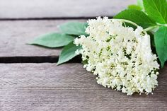 Bez czarny (zwany też bzem lekarskim, bzowiną lub hyćką) to jedna z najstarszych roślin leczniczych. Od wieków kwiaty i owoce bzu czarnego wykorzystuje się przy przeziębieniach, gorączce, zapaleniu kr...