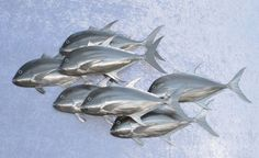 Sculptures I am happy to make any species of fish in 3D, Wall Hanging or Shoal Form. The Wall Hanging and Shoals can be made facing either direction. | Brendan Tracey Metal Art