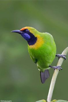 Golden fronted Leafbird  Wong Chloropseidae Thailand's endemic presence of bird habitats, forest, mixed deciduous forest, the spe...