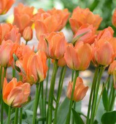 Disneyland Paris Tulips