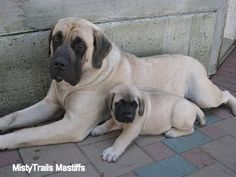 English Mastiff dogs were most often used in bear baiting.