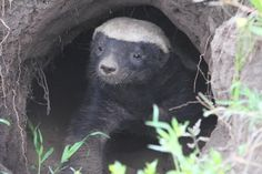 Honey Badger – Pound for the pound the honey badger is the most powerful…