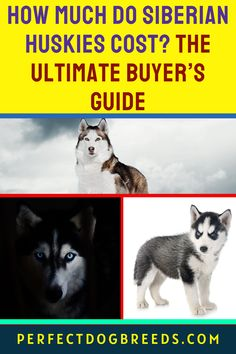 Siberian Huskies are beautiful dogs. Perfect Dog Breeds want to assure you that this canine's stunning appearance does not make it an expensive puppy. So if you have a frugal budget this is a dog you can consider to add to your family. Check out our guide that will tell you everything about this puppy when it comes to its dietary, exercise and health needs. We address all the cost factors in these areas plus training, grooming and other factors to help you make the right choice. Read more... Siberian Husky Price, Siberian Husky Breeders, Siberian Huskies, Large Dog Breeds, Large Dogs, Expensive Dogs, Most Popular Dog Breeds, Husky Puppy, Service Dogs
